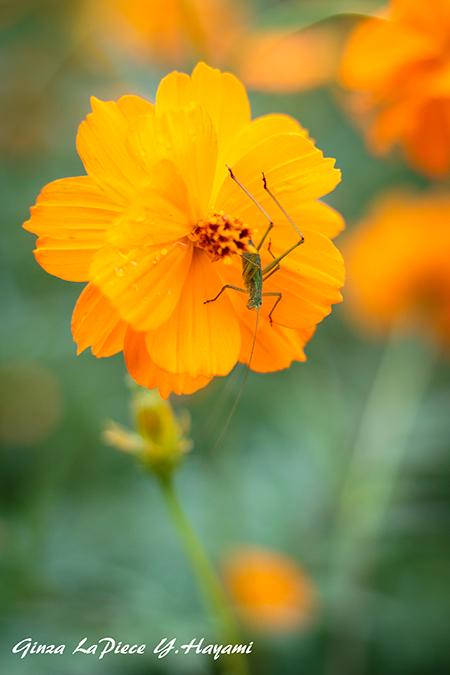 花のある風景 キバナコスモスとバッタ_b0133053_23574795.jpg