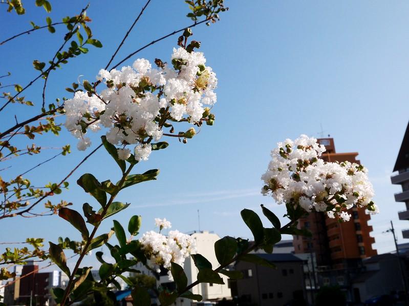 白いサルスベリ_b0093754_16232340.jpg