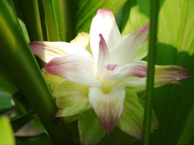 無農薬栽培の『秋ウコン』 ウコンの花が咲きました!現地取材:種まきから花まで(その1)_a0254656_17352225.jpg