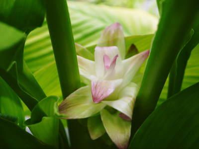 無農薬栽培の『秋ウコン』 ウコンの花が咲きました!現地取材:種まきから花まで(その1)_a0254656_17391465.jpg