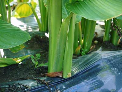 無農薬栽培の『秋ウコン』 ウコンの花が咲きました!現地取材:種まきから花まで(その1)_a0254656_17532740.jpg