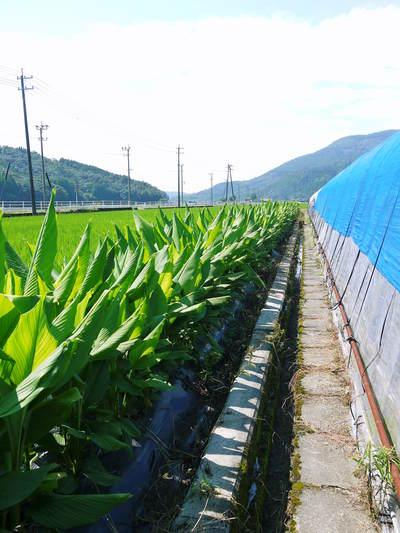 無農薬栽培の『秋ウコン』 ウコンの花が咲きました!現地取材:種まきから花まで(その1)_a0254656_17574626.jpg