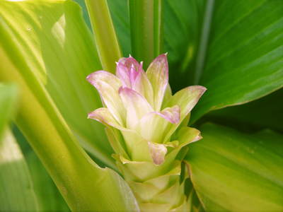 無農薬栽培の『秋ウコン』 ウコンの花が咲きました!現地取材:種まきから花まで(その1)_a0254656_18104098.jpg