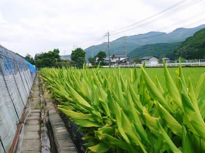 無農薬栽培の『秋ウコン』 ウコンの花が咲きました!現地取材:種まきから花まで(その1)_a0254656_183115.jpg