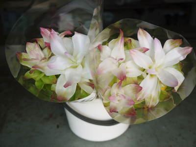 無農薬栽培の『秋ウコン』 ウコンの花が咲きました!現地取材:種まきから花まで(その1)_a0254656_18323268.jpg