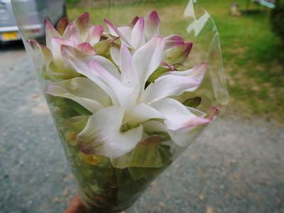 無農薬栽培の『秋ウコン』 ウコンの花が咲きました!現地取材:種まきから花まで(その1)_a0254656_18412958.jpg