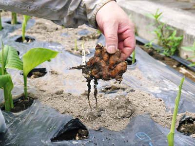 無農薬栽培の『秋ウコン』 ウコンの花が咲きました!現地取材:種まきから花まで(その1)_a0254656_18492375.jpg