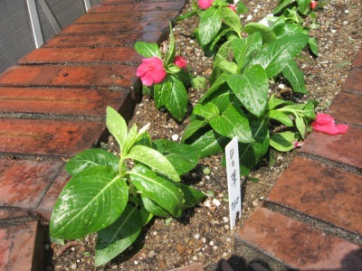 ガーデンふ頭総合案内所前花壇の植替えH28.8.17_d0338682_08580802.jpg