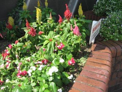 ガーデンふ頭総合案内所前花壇の植替えH28.8.17_d0338682_09003921.jpg