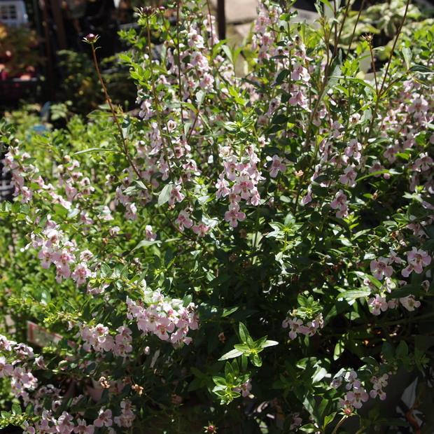 夏のお花、アンゲロニア_a0292194_20315036.jpg