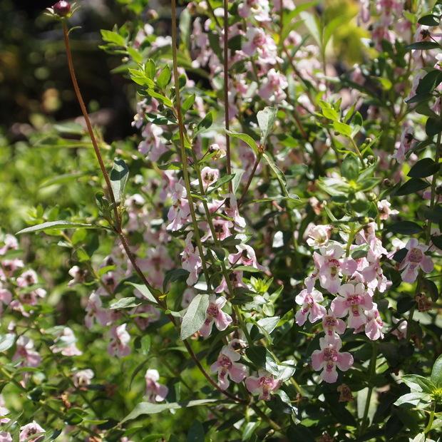 夏のお花、アンゲロニア_a0292194_2032936.jpg