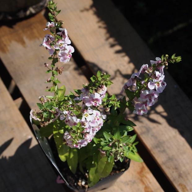 夏のお花、アンゲロニア_a0292194_20341378.jpg