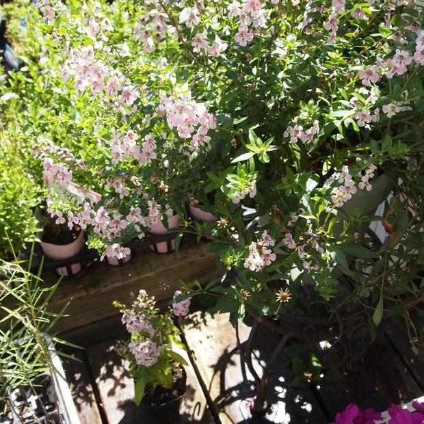夏のお花、アンゲロニア_a0292194_20345059.jpg