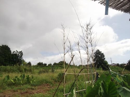 スイカ畑の残渣処分..汗だくです。_b0137932_17522127.jpg