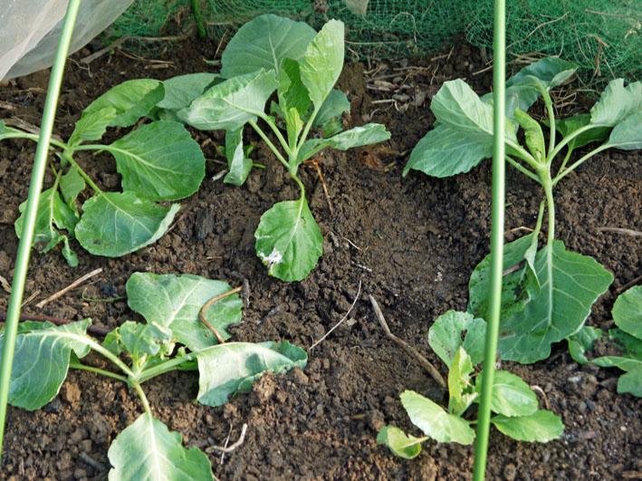 冬キャベツの苗移植&秋ジャガの種芋植え付け8・17~18_c0014967_8523279.jpg