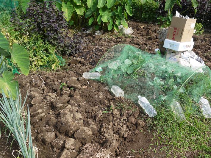 冬キャベツの苗移植&秋ジャガの種芋植え付け8・17~18_c0014967_8561821.jpg