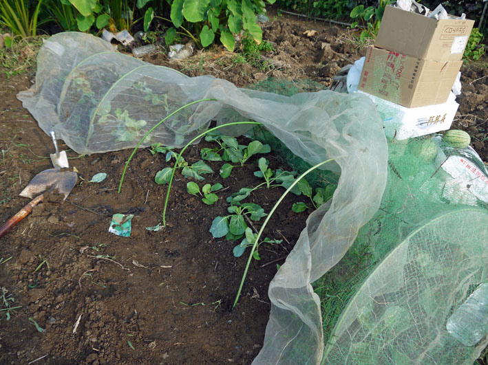 冬キャベツの苗移植&秋ジャガの種芋植え付け8・17~18_c0014967_8564746.jpg
