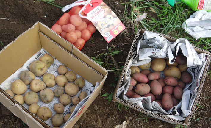 冬キャベツの苗移植&秋ジャガの種芋植え付け8・17~18_c0014967_8571171.jpg
