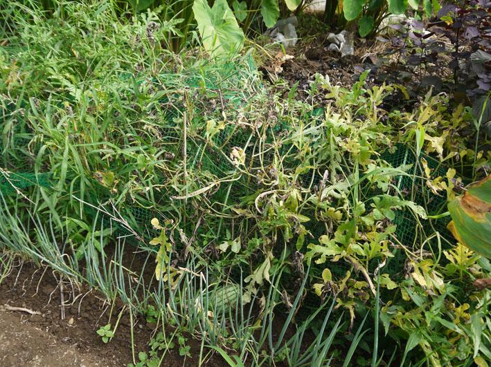 冬キャベツの苗移植&秋ジャガの種芋植え付け8・17~18_c0014967_8585835.jpg