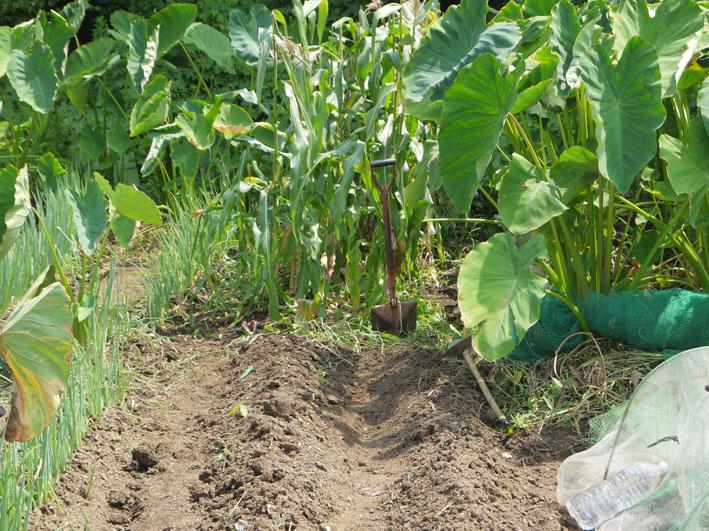 冬キャベツの苗移植&秋ジャガの種芋植え付け8・17~18_c0014967_859114.jpg
