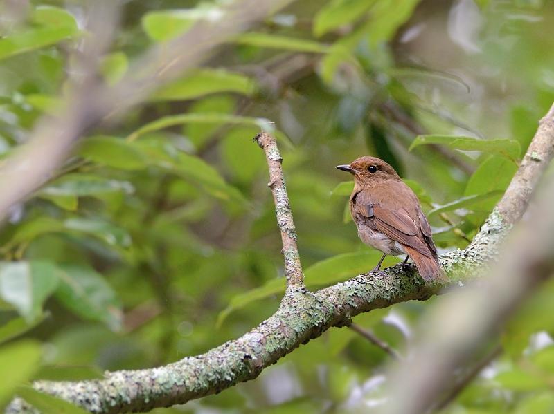 お山で鳥見(2)(オオルリ)_a0204089_601263.jpg
