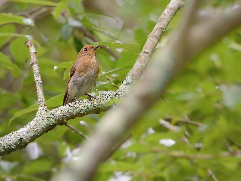 お山で鳥見(2)(オオルリ)_a0204089_60144.jpg