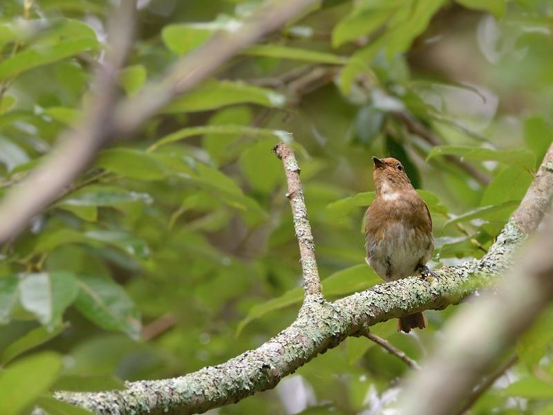 お山で鳥見(2)(オオルリ)_a0204089_602170.jpg