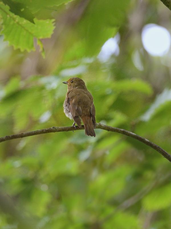 お山で鳥見(2)(オオルリ)_a0204089_603626.jpg
