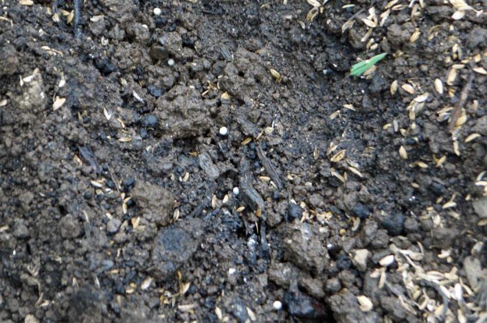 雨見込みニンジン蒔き直し、ブロッコリー植え付け8・21_c0014967_1041236.jpg