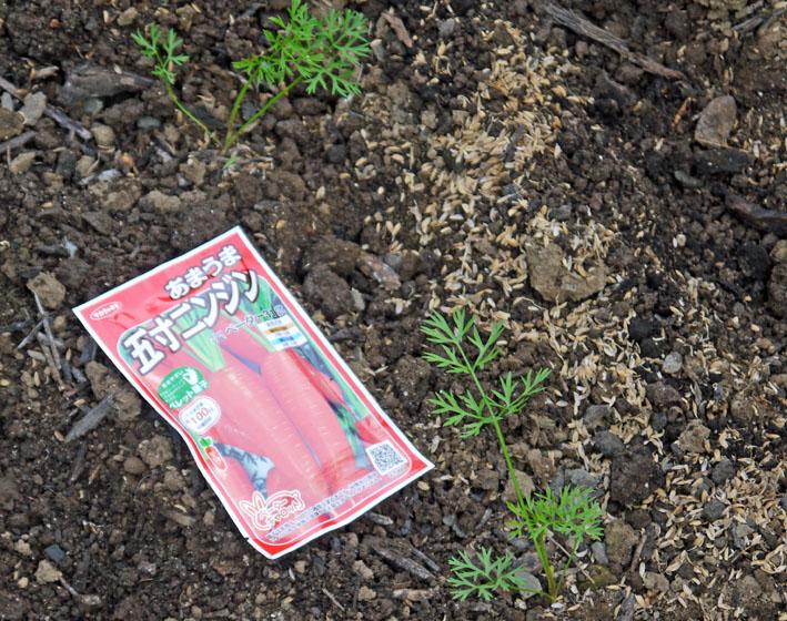 雨見込みニンジン蒔き直し、ブロッコリー植え付け8・21_c0014967_104131.jpg