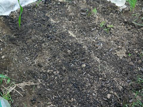 雨見込みニンジン蒔き直し、ブロッコリー植え付け8・21_c0014967_10413531.jpg