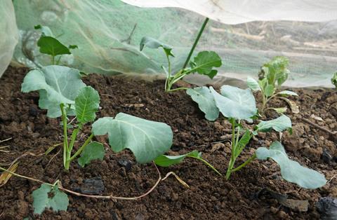 雨見込みニンジン蒔き直し、ブロッコリー植え付け8・21_c0014967_1042548.jpg