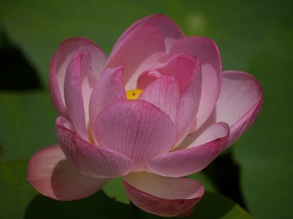 ハスの花と鳥中華から蔵王大露天風呂_a0351368_22094416.jpg