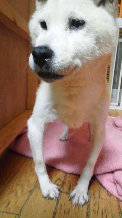 ブリーダー放棄の柴犬とラブたち(8/20)_f0242002_21143004.jpg