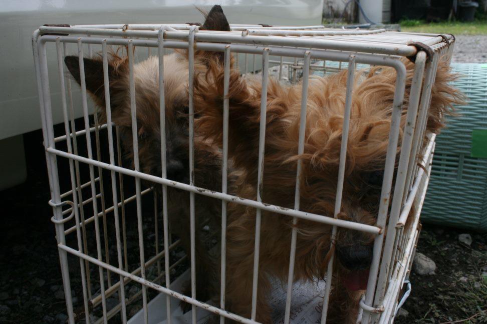 ブリーダー放棄の柴犬とラブたち(8/20)_f0242002_21231051.jpg