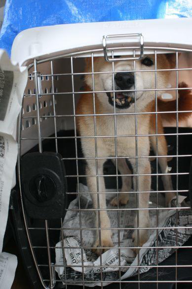 ブリーダー放棄の柴犬とラブたち(8/20)_f0242002_21234795.jpg