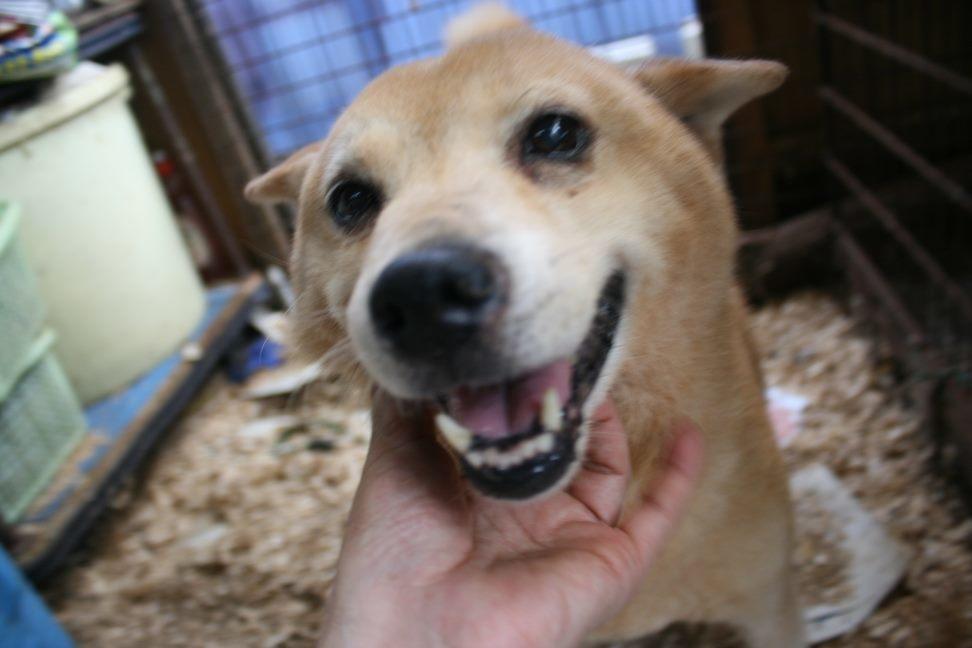 ブリーダー放棄の柴犬とラブたち(8/20)_f0242002_21400997.jpg