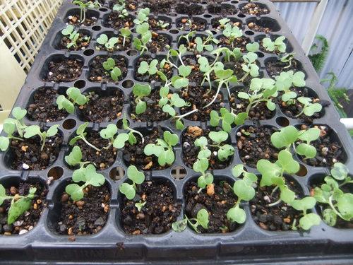 秋野菜の苗たち.._b0137932_10384485.jpg