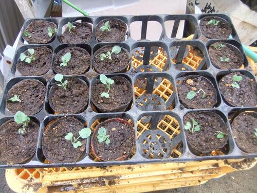 秋野菜の苗たち.._b0137932_10395276.jpg