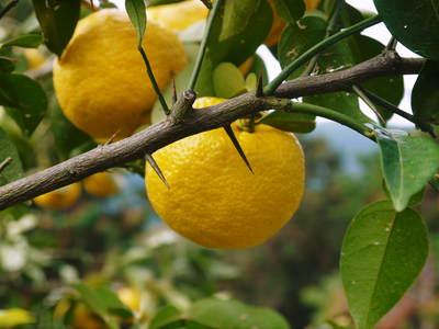 令和2年度の香り高き『青柚子』予約販売受付スタート!手作り「柚子こしょう」を作ってみませんか?_a0254656_1841243.jpg