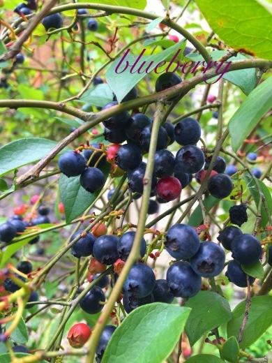 庭のブルーベリー豊作(*˙꒳˙*)‧⁺✧︎*_a0213806_13541707.jpeg