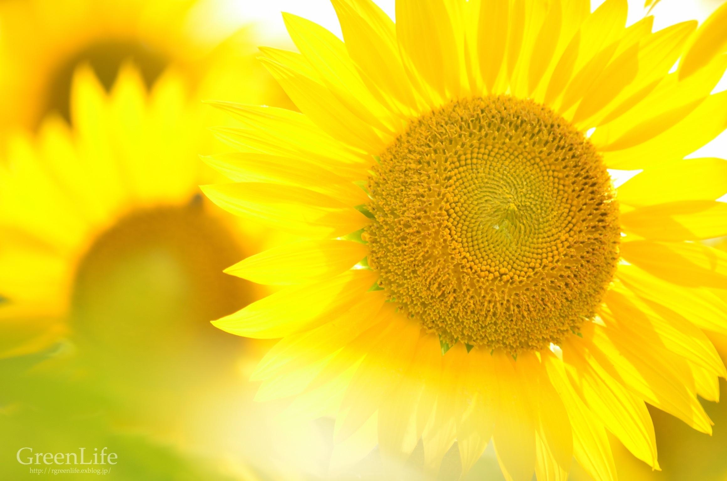 Sunflower field_f0321522_11104963.jpg