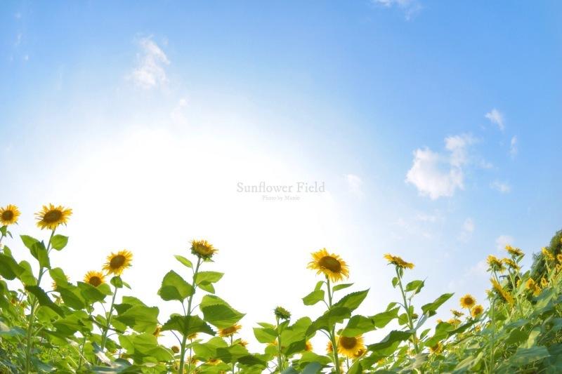 Sunflower field_f0321522_11131503.jpg