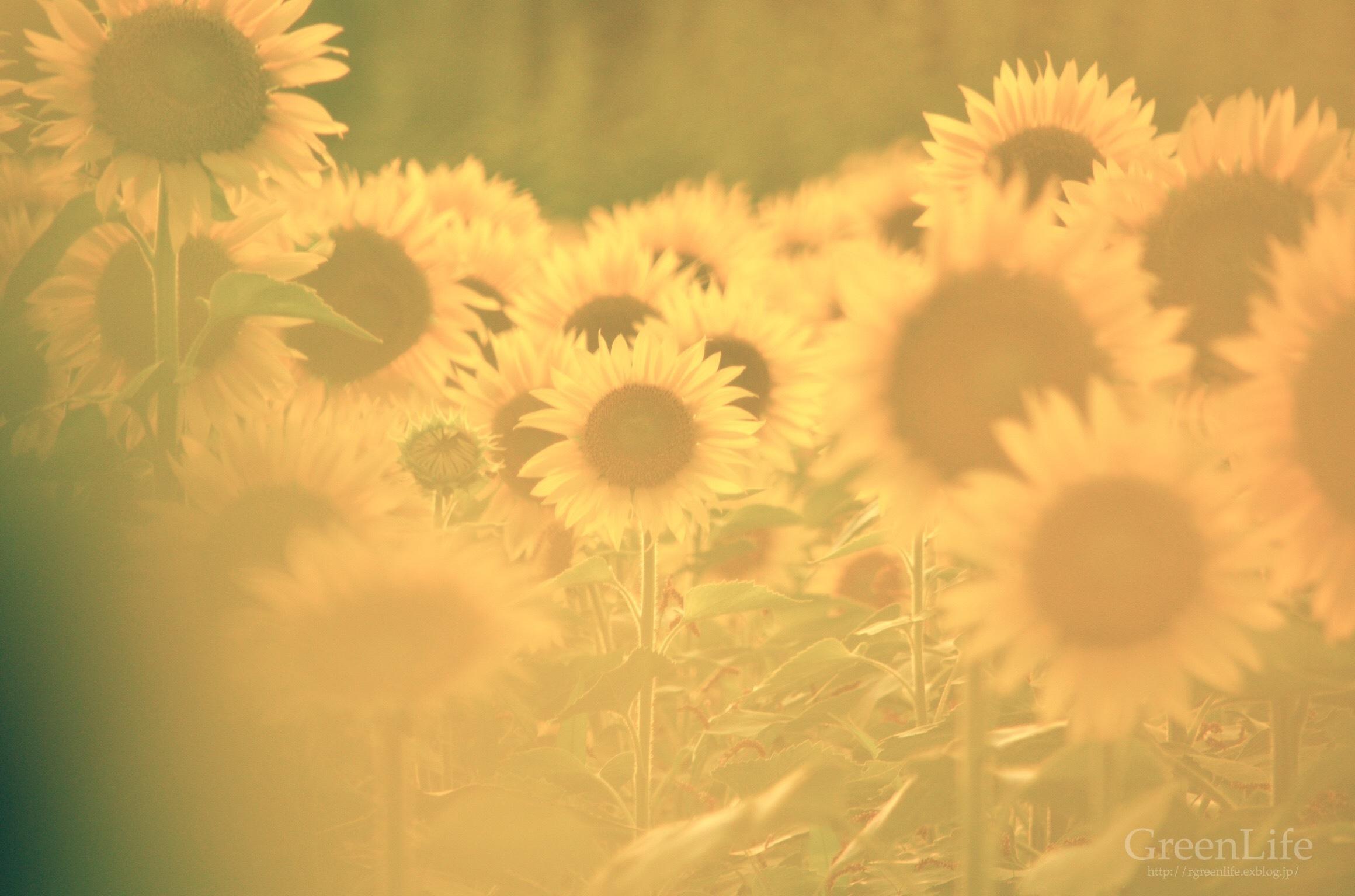 Sunflower field_f0321522_11142191.jpg