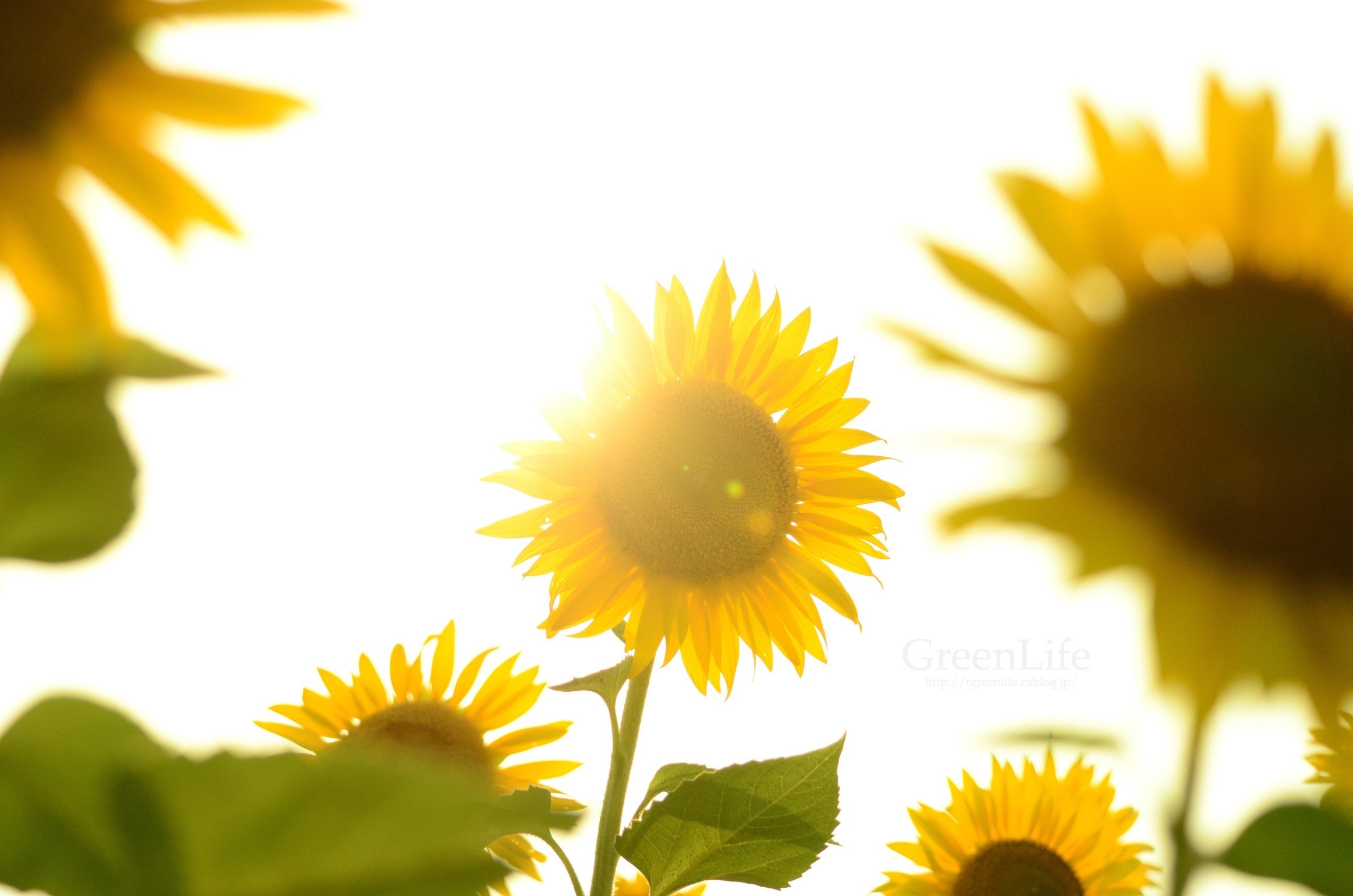 Sunflower field_f0321522_11165415.jpg