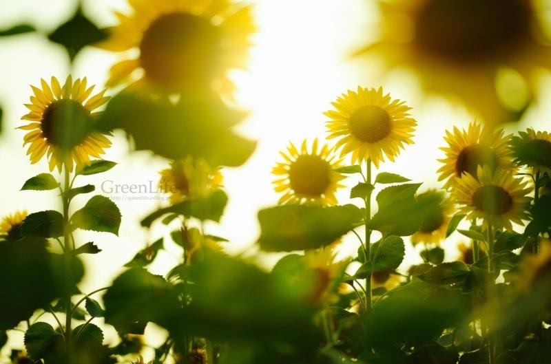 Sunflower field_f0321522_11194962.jpg