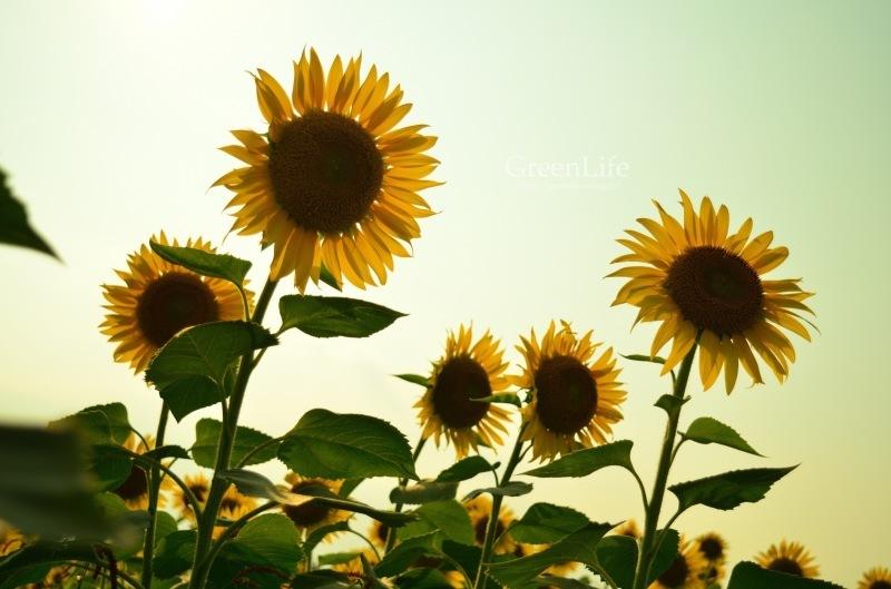 Sunflower field_f0321522_11253175.jpg