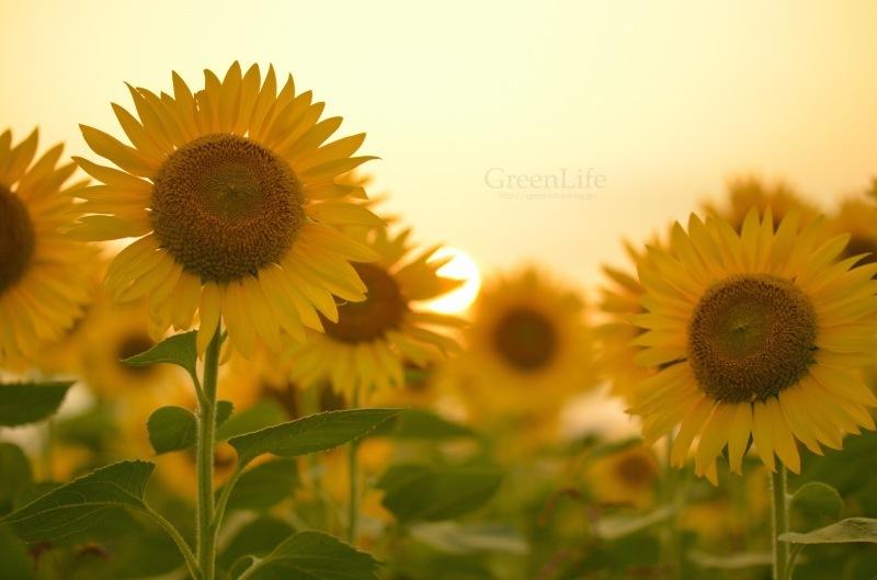 Sunflower field_f0321522_11265317.jpg