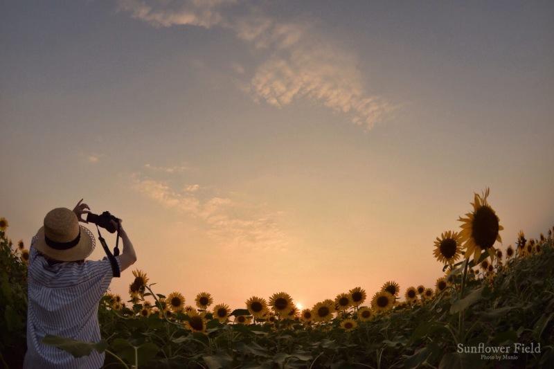 Sunflower field_f0321522_11324164.jpg
