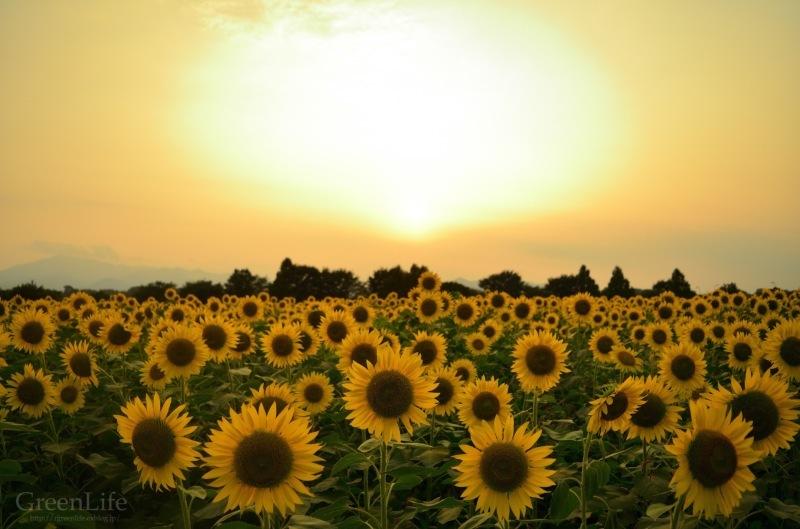 Sunflower field_f0321522_11335292.jpg